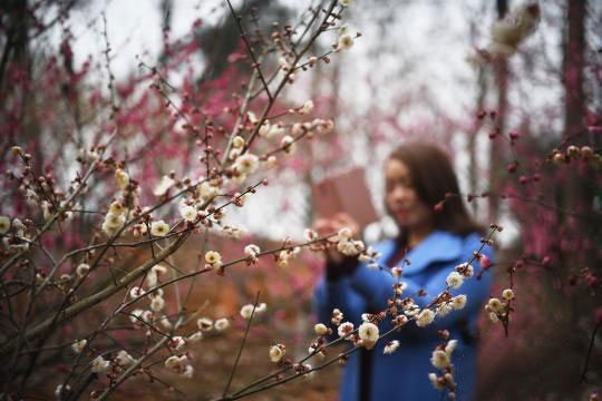 Wintersweet Flowers Bloom at the Hunan Forest Botanical Garden