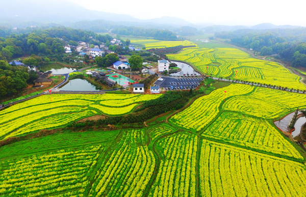 Canola Flowers in Full Bloom at Wangqun Village, Chating Town